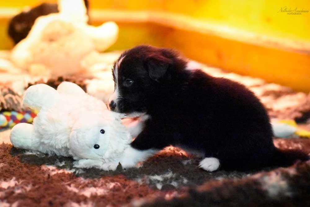cucciolo che gioca della cucciolata w mulino prudenza allevamento border collie ticino