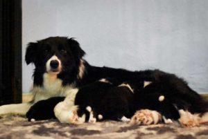 mamma e cuccioli cucciolata w mulino prudenza allevamento border collie ticino