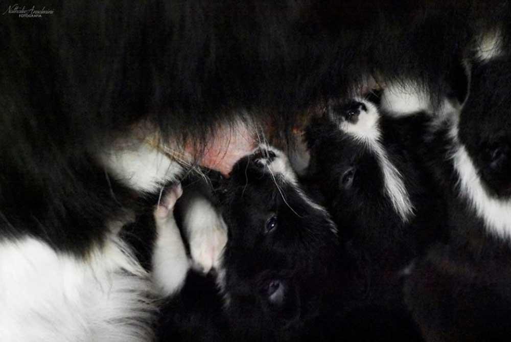 cuccioli che mangiano della cucciolata w mulino prudenza allevamento border collie ticino