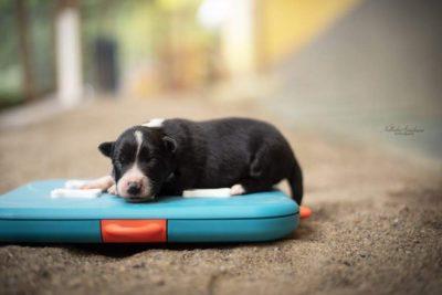 Un cucciolo della cucciolata x mulino prudenza allevamento border collie ticino