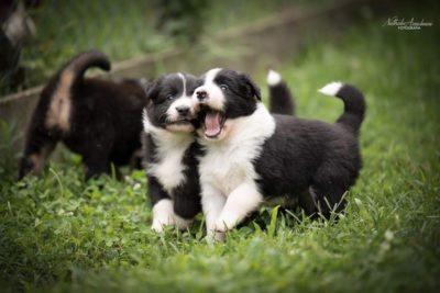 due piccoli della cucciolata x mulino prudenza allevamento border collie ticino