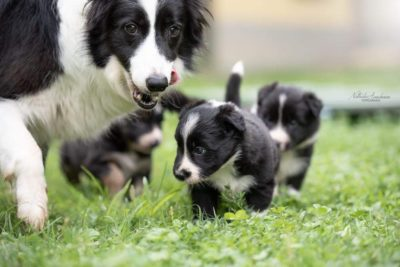 Mamma e cuccioli della cucciolata x mulino prudenza allevamento border collie ticino
